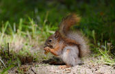 Squirrel sitting on a grass — Stock Photo