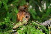 Squirrel sitting on a tree — Stock Photo
