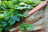 Wildweinmauer — Stock Photo