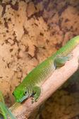 Green Gecko down — Stock Photo