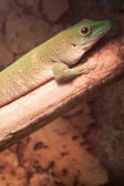 Green gecko on the tree branch — Stok fotoğraf