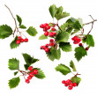 Green hawthorn branches red berries — Stock Photo
