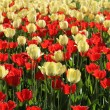 Red and natural white tulips field — Stock Photo #25946937