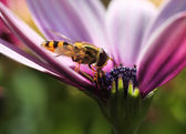 Hoverfly in colorful flower — Stock Photo