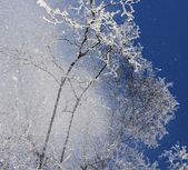 Snow falling from treetops — Stock Photo
