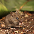 Wild wood mouse — Stock Photo #43696485