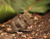 Wild wood mouse — Stock Photo
