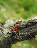 Walking ant — Stockfoto