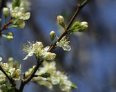 Plum tree blossoming — Stock Photo