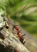 Hard-working red ant — Stock Photo