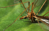 Crane fly close-up — Stock Photo