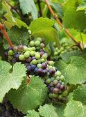 Wine grapes in vineyard — Stock Photo