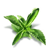 Stevia plant leaves isolated — Stock Photo