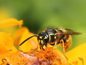 Wasp in colorful summer flower — Stock Photo