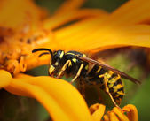 Wasp in yellow summer flower — Stock Photo