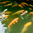 Stock Photo: koi carp in a pond