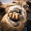 Humorous camel with bad teeth — Stock Photo