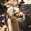 Camel grinding its teeth — Stock Photo