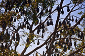 Bats hanging in a tree — Stock Photo