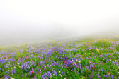 Wild flowers blooming in the fog near Mt. Rainier in North West USA. — Stock Photo