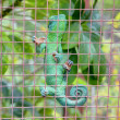 Royalty-Free Stock Photo: Green lizard chameleon in the cage. Kula Botanical Garden. Maui.