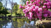 Point Defiance park in Tacoma, WA. USA. Pink rhododendron near pond. — Stock Photo