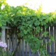 Green grapes leaves hanging over wood hence — Stock Photo #40035435