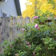 Flourishing roses complete backyard view — Stock Photo #40035619