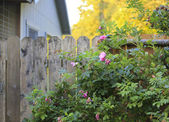 Flourishing roses complete backyard view — Stock Photo