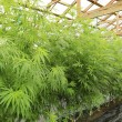 Stock Photo: Marijuan( cannabis), hemp plant growing inside of green ho