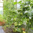 Green house with tomato plants — Stock Photo
