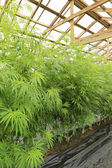 Marijuana ( cannabis), hemp plant growing inside of the green ho — Stock Photo
