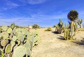 Balboa park w san diego, ogród kaktusów z pustyni. — Zdjęcie stockowe