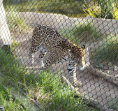 San Diego Zoo. Leopard in his aviary — Stock Photo