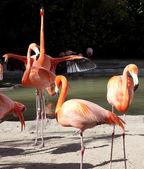 Flamingos, San Diego Zoo, San Diego Zoo — Stock Photo