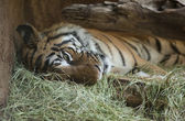 San Diego Zoo. Tired tiger in an aviary — Stock Photo