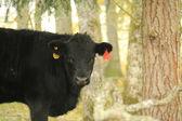 Bull in gloomy rainy pasture during fall. — Stock Photo