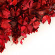 Dry rose petals — Stock Photo