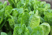 Lettuce growth — Stock Photo