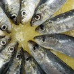 Sardines — Stock Photo #27620245