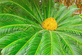 Palm tree with blossom — Stock Photo