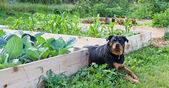Raised Garden With Rottweiler — Stock Photo