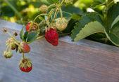 Ever Bering Strawberries — Stock Photo