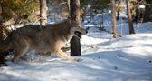 Wolf kör i skogen — Stockfoto