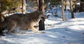 Lobo correndo na floresta — Foto Stock