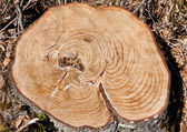 Tree Stump with Rings — Stock Photo