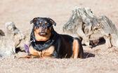 Samica rottweiler — Zdjęcie stockowe