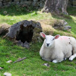Spring Sheep — Stock Photo