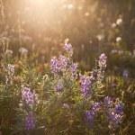 Wild Lupine Flowers — Stock Photo #21998539
