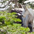 Mountain Goat Profile — 图库照片